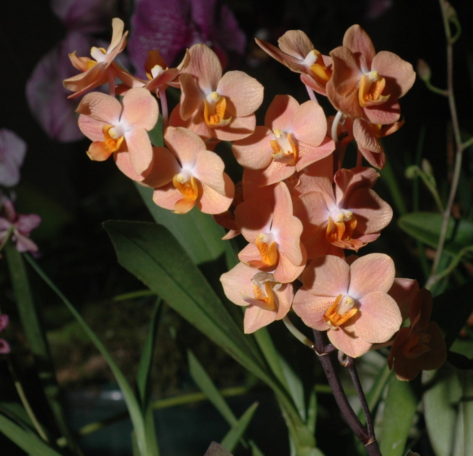 Southern Ontario Orchid Society